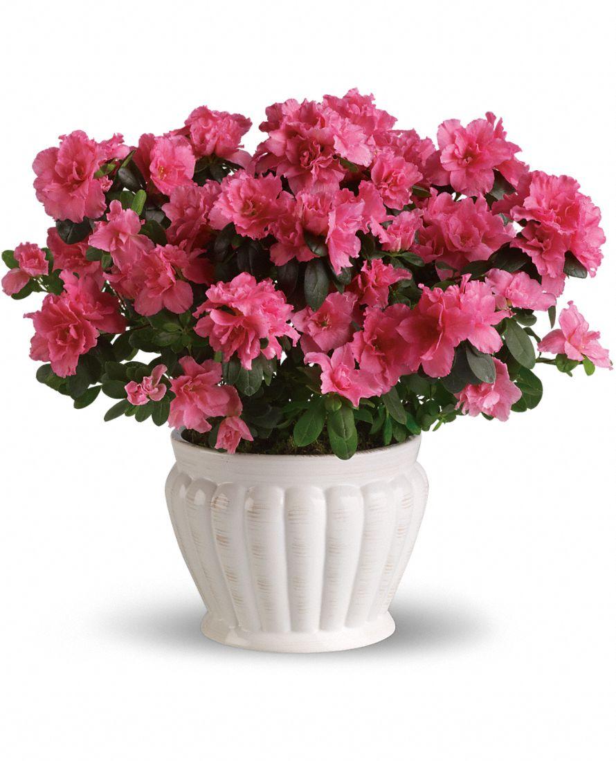 Azalea negozio di fiori a roma fioridenni - White flowering house plants ...