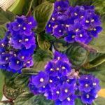 cestino di violette