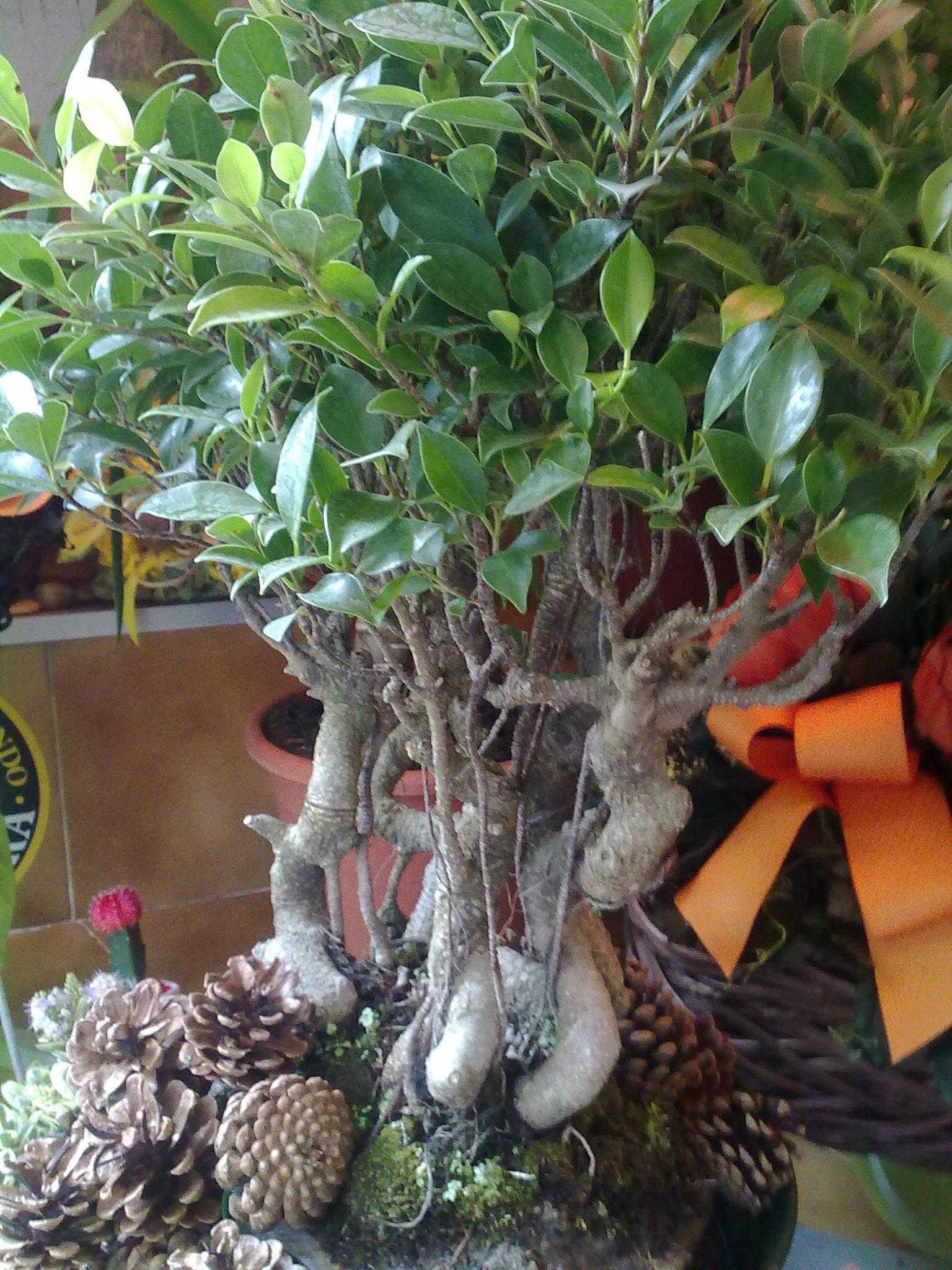 Bonsai negozio di fiori a roma fioridenni - Cura dei bonsai in casa ...